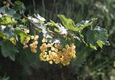 1 желтый цвет солнечности смородины Стоковое Изображение