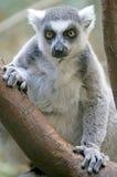 1 замкнутое кольцо lemur Стоковое фото RF