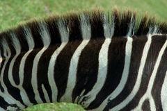 1 зебра текстуры Стоковые Фото