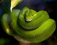 1 зеленый вал питона Стоковое Фото
