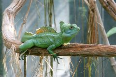 1 зеленый цвет basilisk Стоковое фото RF