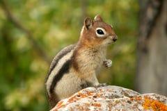 1 земное sqiurrel richardsons стоковые изображения rf