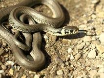 1 змейка Стоковое Фото