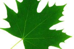 1 изолированный клен листьев Стоковое Изображение RF
