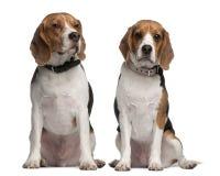 1 и 3 леты Beagles, старые, сидящ Стоковые Фотографии RF