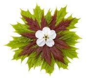 1 клен листьев Стоковое Изображение RF