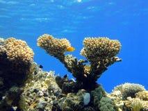 1 коралл v Стоковая Фотография