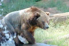 1 коричневый цвет медведя Стоковые Фото