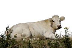 1 корова Стоковые Изображения