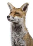 1 красный цвет близкого headshot лисицы старый вверх по году Стоковые Изображения