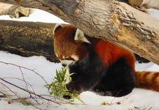 1 красный цвет панды Стоковое Изображение RF