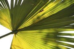 1 ладонь frond вентилятора Стоковое Изображение RF