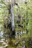 1 ландшафт болотистых низменностей кипариса Стоковое Изображение