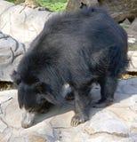 1 лень медведя Стоковая Фотография RF