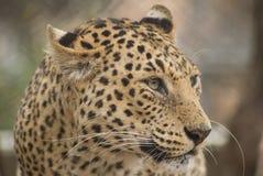 1 леопард Стоковые Изображения
