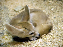 1 лисица fennec Стоковое Изображение
