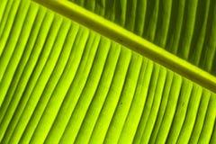 1 листь детали банана Стоковое Изображение RF