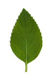 1 листь стоковые изображения