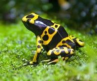 1 лягушка возглавила желтый цвет отравы Стоковая Фотография