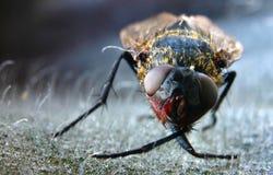 1 макрос мухы Стоковая Фотография