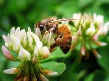 1 макрос пчелы супер Стоковое Фото
