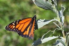 1 монарх бабочки Стоковое Изображение RF