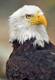 1 облыселый орел Стоковые Изображения