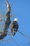 1 облыселый орел Стоковая Фотография