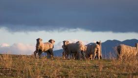 1 овца merino Стоковое фото RF