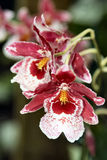 1 орхидея Стоковые Фото
