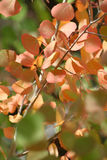 1 осина покидает померанцовый красный цвет стоковые изображения