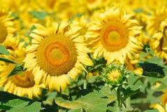 1 отсутствие солнцецветов Стоковая Фотография