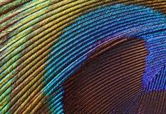 1 павлин макроса пера Стоковые Изображения RF