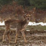 1 перелог самеца оленя Стоковые Фото