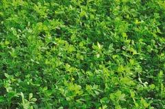 1 поле emilia cloverleaf Стоковое Изображение RF
