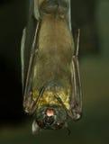 1 портрет летучей мыши Стоковые Изображения