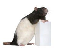 1 против года старой крысы вычуры коробки стоящего Стоковая Фотография RF