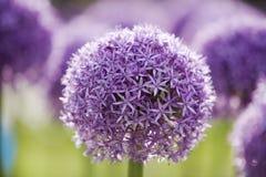 1 пурпур лукабатуна Стоковое Изображение