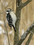 1 пуховый woodpecker Стоковые Фото