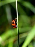 1 пятно ladybird Стоковые Изображения RF