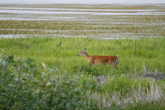 1 река myakka оленей Стоковые Фото