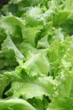 1 салат Стоковое Изображение