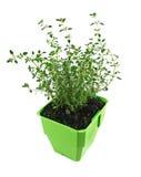 1 свежий тимиан трав Стоковые Изображения