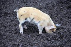 1 свинарник Стоковое фото RF