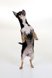 1 собака чихуахуа Стоковое Фото