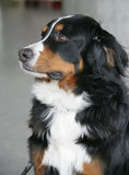 1 собака berner славная Стоковое Фото