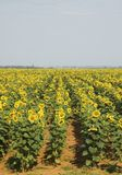 1 солнцецвет поля Стоковое Фото
