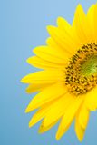 1 солнцецвет цветения Стоковые Изображения RF