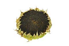 1 солнцецвет Стоковое Фото