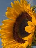 1 солнцецвет стоковое изображение rf